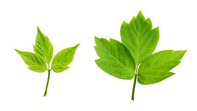 Insieme dei fogli verdi Fotografia Stock