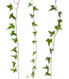 Insieme dei gambi dell'edera isolati. immagine stock libera da diritti