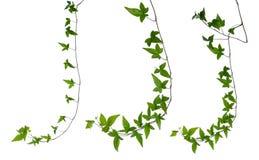 Insieme dei gambi dell'edera isolati sopra bianco. illustrazione di stock