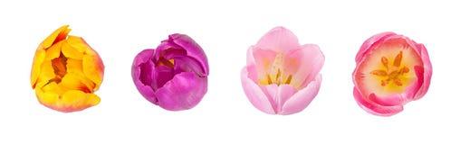 Insieme dei germogli dei tulipani nei colori differenti e delle specie isolati sopra Immagine Stock