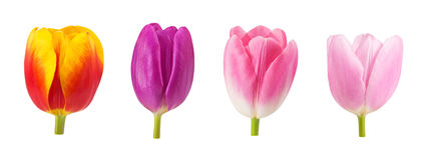Insieme dei germogli dei tulipani nei colori differenti e delle specie isolati su fondo bianco Fotografia Stock