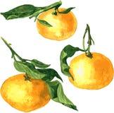 Insieme dei mandarini del disegno dell'acquerello Fotografie Stock