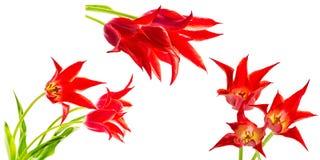 Insieme dei mazzi dei tulipani rossi Fotografie Stock Libere da Diritti