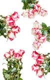 Insieme dei mazzi della rosa di rosa isolati su bianco Fotografia Stock