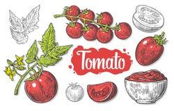 Insieme dei pomodori disegnati a mano isolati su fondo bianco Il pomodoro, la metà e la fetta isolati hanno inciso l'illustrazion Fotografia Stock Libera da Diritti