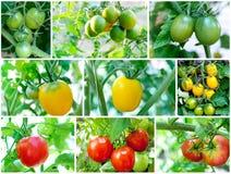 Insieme dei pomodori sulla pianta di pomodori Fotografia Stock