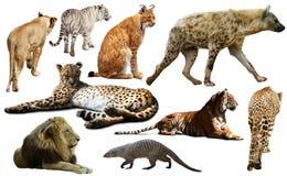 Insieme dei predatori africani isolati sopra bianco Fotografie Stock
