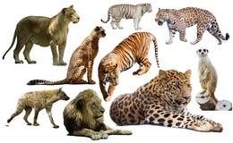 Insieme dei predatori africani isolati sopra bianco Fotografia Stock