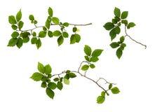 Insieme dei rami con le foglie verdi fresche Fotografia Stock Libera da Diritti
