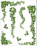 Insieme dei rami d'attaccatura dell'edera su un fondo bianco Fotografie Stock