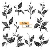 Insieme dei rami del cespuglio del tè siluetta nera di vettore su fondo bianco Fotografie Stock Libere da Diritti