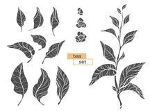 Insieme dei rami del cespuglio del tè siluetta nera di vettore su fondo bianco Fotografie Stock
