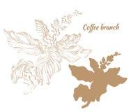Insieme dei rami della pianta del caffè con le foglie ed i fagioli Immagini Stock