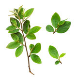 Insieme dei rami freschi delle foglie verdi Fotografia Stock Libera da Diritti