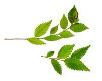 Insieme dei ramoscelli con le foglie verdi Fotografie Stock