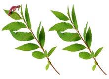 Insieme dei ramoscelli di bumalda dello spiraea con i fiori e le foglie Immagine Stock
