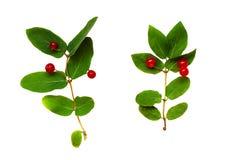 Insieme dei ramoscelli di tatarica del Lonicera con le foglie verdi e le bacche rosse Fotografie Stock