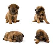 Insieme dei ritratti dello studio di giovane cucciolo Fotografia Stock