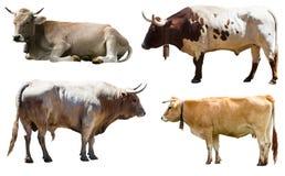 Insieme dei tori e della mucca Isolato sopra bianco Fotografia Stock