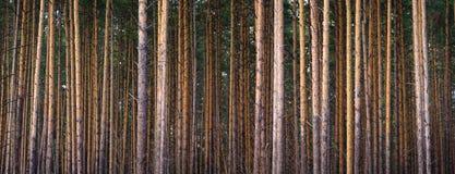 Insieme dei tronchi del pino fotografia stock