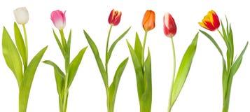 Insieme dei tulipani del colorfull Fotografie Stock