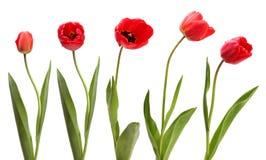 Insieme dei tulipani rossi isolati Fotografie Stock