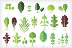 Insieme dei verdi dell'insalata Immagini Stock