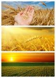 Insieme del campo di agricoltura con il raccolto Immagini Stock