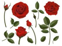 Insieme del color scarlatto della rosa delle parti del fiore Immagine Stock