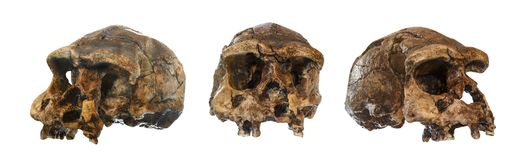 Insieme del cranio di homo erectus Scoperto nel 1969 in Sangiran, Java, Indonesia Datato a 1 milione anni fa front lato Ob' Fotografie Stock
