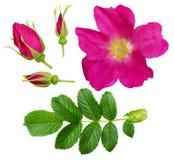 Insieme del fiore, dei germogli e delle foglie rosa selvaggi Fotografia Stock