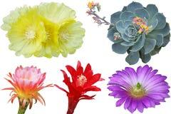 Insieme del fiore del cactus Fotografia Stock Libera da Diritti