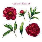 Insieme del fiore dell'acquerello delle peonie e delle foglie Immagini Stock