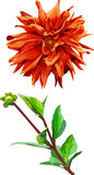 Insieme del fiore di Georgina e delle foglie isolati 3 Immagine Stock Libera da Diritti