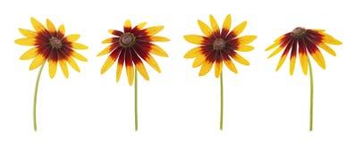 Insieme del fiore di Rudbeckia isolato su un bianco Come elementi di progettazione Immagini Stock