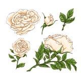 Insieme del fiore, del germoglio e delle foglie della rosa rossa Isolato sull'illustrazione bianca di vettore Immagini Stock Libere da Diritti