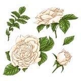 Insieme del fiore, del germoglio e delle foglie della rosa rossa Isolato sull'illustrazione bianca di vettore Immagine Stock