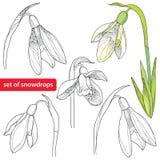 Insieme del fiore o di Galanthus di bucaneve su fondo bianco Immagine Stock