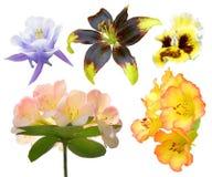 Insieme del fiore variopinto isolato, stagione primaverile della flora della piena fioritura, giglio di Lionheart Fotografia Stock