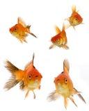 Insieme del Goldfish Immagini Stock Libere da Diritti