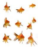 Insieme del Goldfish Fotografia Stock