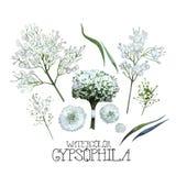 Insieme del gypsophila dell'acquerello Fotografia Stock
