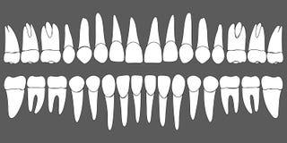 Insieme del modello dentario dei denti umani illustrazione di stock