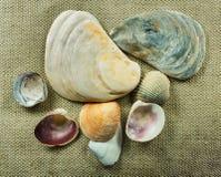 Insieme del mollusco della conca del mare Fotografia Stock