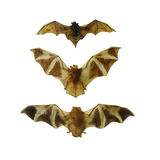 Insieme del pipistrello della frutta isolato su bianco immagini stock