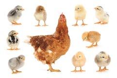 Insieme del pollo su bianco Immagine Stock