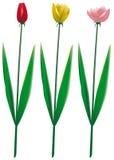 Insieme del tulipano isolato Fotografie Stock Libere da Diritti
