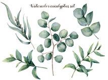 Insieme dell'eucalyptus dell'acquerello grande Ramo dipinto a mano dell'eucalyptus del bambino, del dollaro seminata e d'argento  Immagine Stock