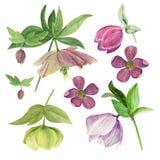Insieme dell'illustrazione botanica dell'acquerello degli elleboro isolati su fondo bianco Fotografia Stock