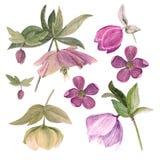 Insieme dell'illustrazione botanica dell'acquerello degli elleboro isolati su fondo bianco in filtro rosa Fotografie Stock